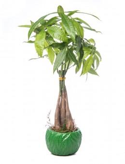 Maoka Serisi Pachira Tasarım  çiçek gönder