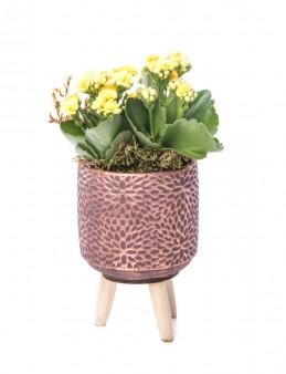 Auctore Serisi Kalanchoe Tasarım  çiçek gönder