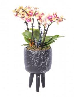 Auctore Serisi Mini Sarı Orkide Tasarım Orkideler çiçek gönder