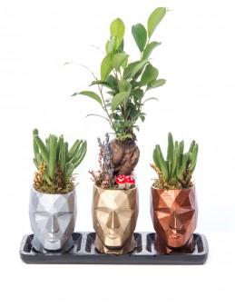 Trio Zeus Serisi Ficus Ginseng Bonsai Tasarım  çiçek gönder