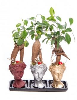 Trio Picta Hero Ficus Ginseng Bonsai Tasarım  çiçek gönder