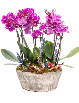 Lucenna Serisi Mor Orkide Tasarım Orkideler çiçek gönder