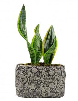Dekoratif Motif Saksıda Sansevieria  çiçek gönder