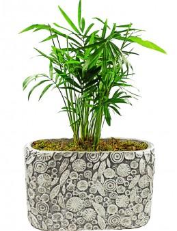 Dekoratif Motif Saksıda Chamadorea  çiçek gönder