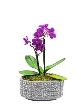 Desenli Beton Saksıda Mini Orkide Orkideler çiçek gönder