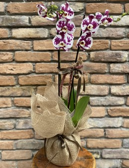 Benekli Orkide  çiçek gönder