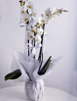 4 Dallı Beyaz Orkide Çiçeği.  çiçek gönder