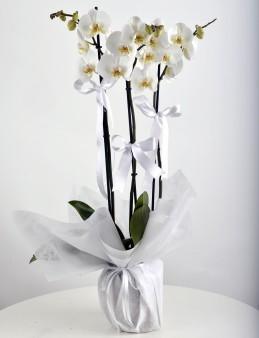 3 Dallı Beyaz Orkide Çiçeği.  çiçek gönder