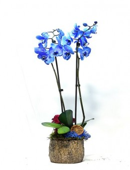 Özel Tasarım Mavi Orkide Orkideler çiçek gönder