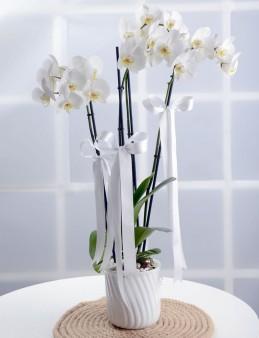 Beyaz 3 Dallı Orkide Çiçeği  çiçek gönder