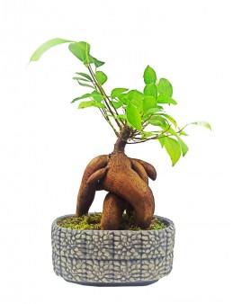 Desenli Beton Saksıda Bonsai  çiçek gönder