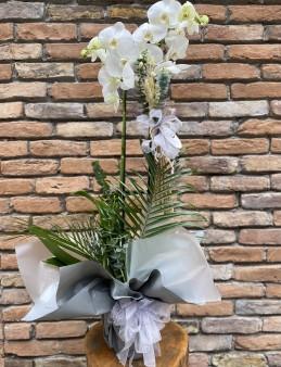 2 Dallı Jumbo Orkide Orkideler çiçek gönder
