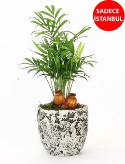 Dekoratif Şamadora Bitkisi  çiçek gönder