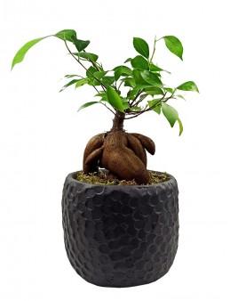 Siyah Taş Saksıda Bonsai  çiçek gönder