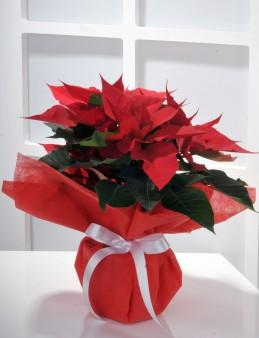Puansetya Saksı Çiçeği  çiçek gönder