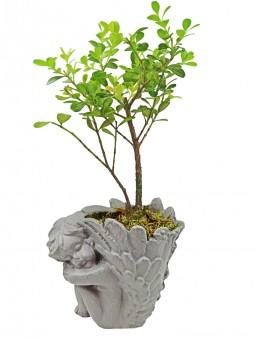 Melek Saksıda Buxus Bonsai  çiçek gönder