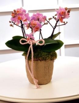 Pembe Bougetto Orkide Orkideler çiçek gönder