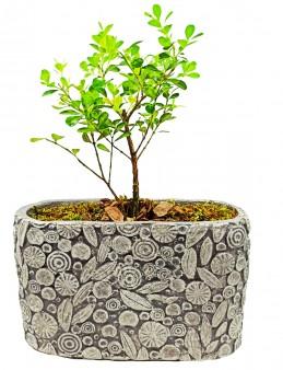 Dekoratif Motif Saksıda Buxus Bonsai  çiçek gönder