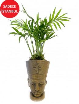Nefertiti Butik Şamadora Bitkisi Saksı Çiçekleri çiçek gönder