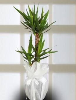 İkili Yucca Saksı Çiçeği.  çiçek gönder