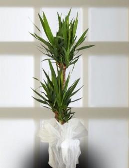 Üçlü Yucca Saksı Çiçeği  çiçek gönder
