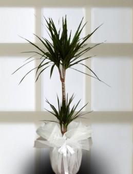 2 li Dresena Marginata Saksı Çiçeği  çiçek gönder