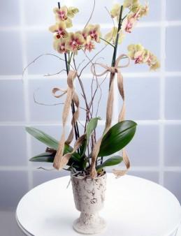 Kış Güneşi Alev Rengi Orkide Çiçeği  çiçek gönder