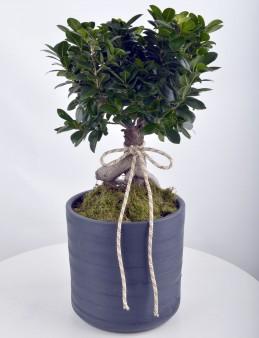 Manolya Bonsai  çiçek gönder