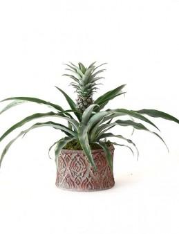 Dekoratif Saksıda Ananas Bitkisi  çiçek gönder