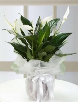 Spathiphyllum Bitkisi Saksı Çiçekleri çiçek gönder