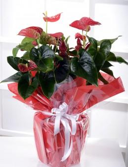 Büyük Antoryum Çiçeği  çiçek gönder