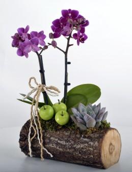 Toprak Kokusu Minyatür Orkide  çiçek gönder