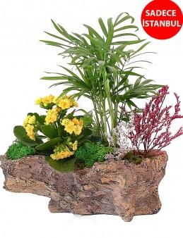 Kaya görünümlü Saksıda Şamadora ve Kalanchoe tasarımı  çiçek gönder