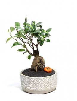 Dekoratif Saksıda Bonsai  çiçek gönder