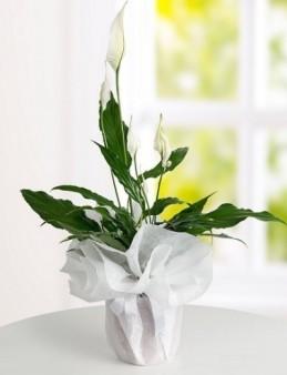 Spatifilyum Saksı Çiçeği Saksı Çiçekleri çiçek gönder