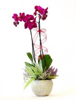 Özel Taş Saksıda Fuşya Orkide Orkideler çiçek gönder