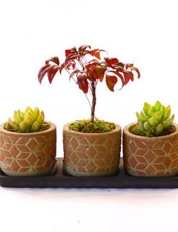 Üçlü Set Pattern Nandina Ve Sukulentler  çiçek gönder