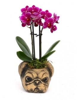 Pug Mini Mor Orkide Orkideler çiçek gönder
