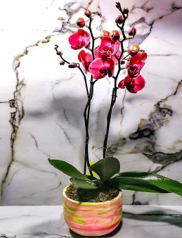 Ebru Sanatı ile Süslenmiş Beton Saksıda 2 Dal Sonbahar Pembesi Orkide  çiçek gönder