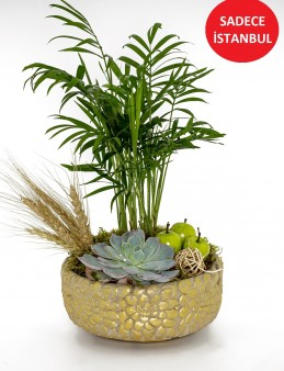 Dağ Palmiyesi ve Ekeberya Bitki Arajmanı. Saksı Çiçekleri çiçek gönder