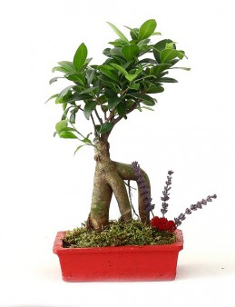 Ficus Bonsai  çiçek gönder