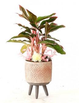 Ayaklı Saksıda İthal Calathea Triostar  çiçek gönder