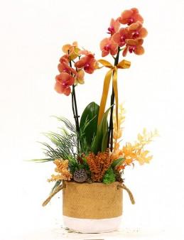 Özel Tasarım Saksıda Özel Orkide Orkideler çiçek gönder