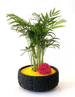 Beton Saksıda Chamadore Bitkisi  çiçek gönder