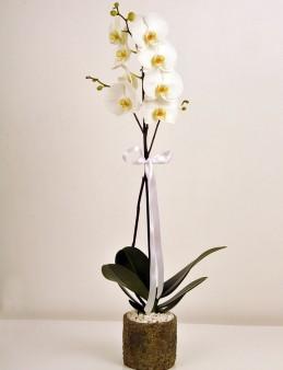 Orkidemsin  çiçek gönder