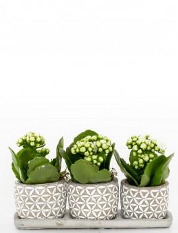 Trio Plus Serisi Beyaz Kalanchoe Bitkisi  çiçek gönder