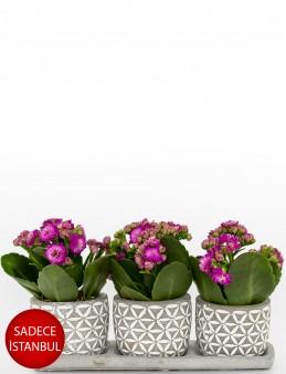 Trio Plus Serisi Pembe Kalanchoe  çiçek gönder
