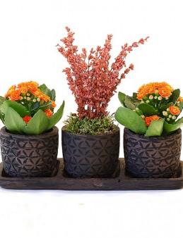 Özel Tasarım Kalanchoeler ve Lavanta  çiçek gönder