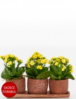 Trio Plus Serisi Sarı Kalanchoe Saksı Çiçekleri çiçek gönder