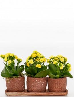 Trio Plus Serisi Sarı Kalanchoe  çiçek gönder
